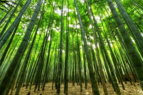 Chinese Bamboo Tree Ellapeng Ca
